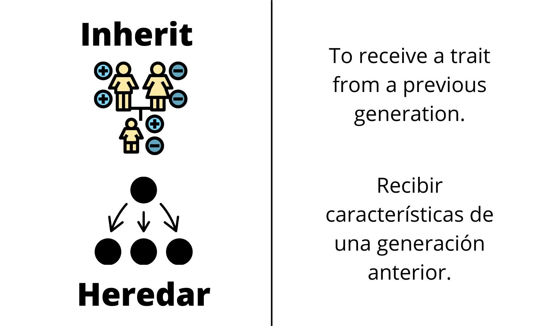 Inherit: To recieve a trait from a previous generation. Heredar: Recibir caracteríticas de una generación anterior.