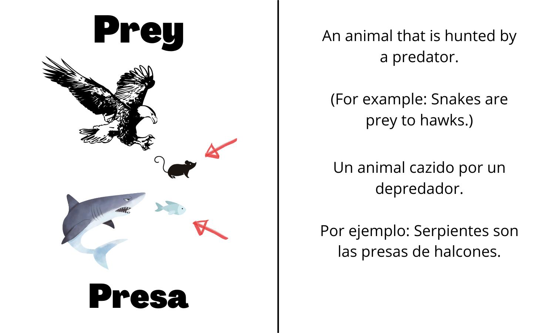 Prey: An animal that is hunted by a predator. (For example: snakes are prey to hawks). Presa: Un animal cazido por un depredador. Por ejemplo: Serpientes son las presas de halcones.